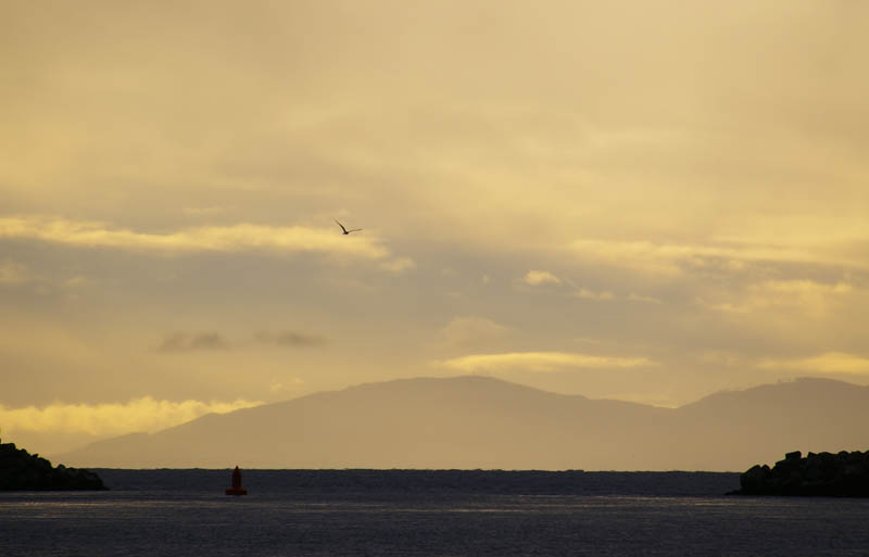 Oak Bay marina gull