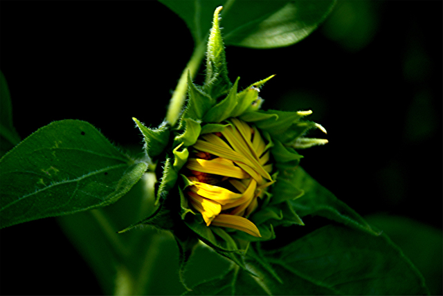 5-5-2010 Sunflower 2.jpg