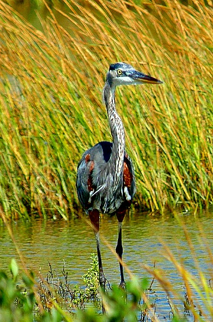 10-2005 Young Tri-colored Heron.JPG