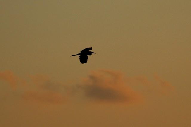 10-2005  Heron Silhouette.JPG