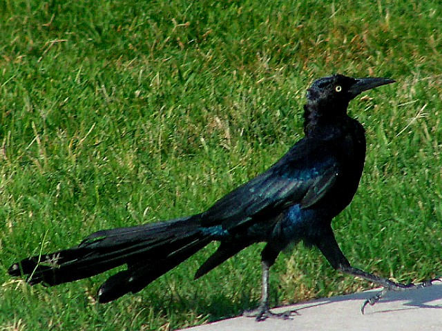 8-23-05 Male Grackle.