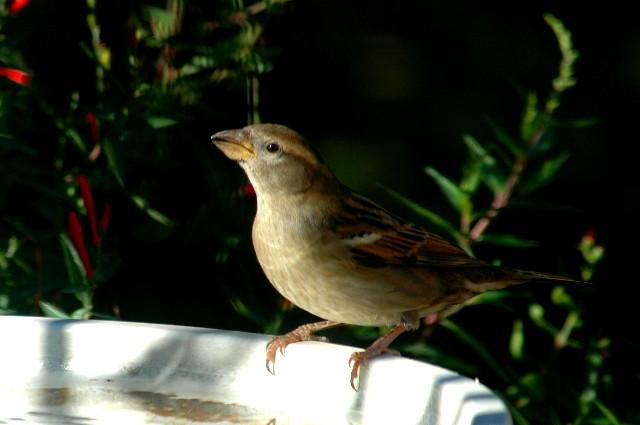 11-10-2005 Sparrow2.JPG