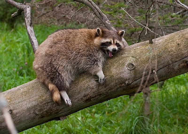 Bien-aimé Raton laveur, Zoo sauvage de St-Félicien photo - Réal Jauvin  AH91