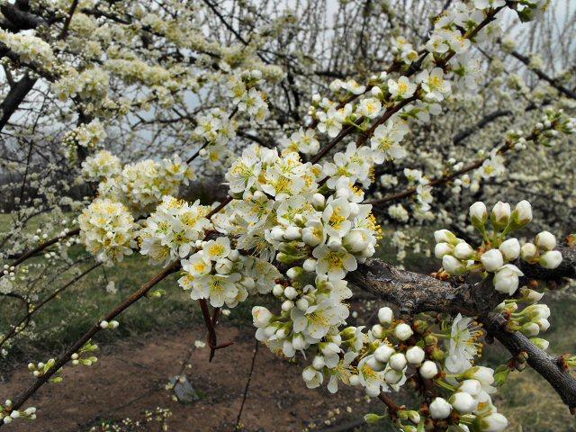 peach blossoms 1583