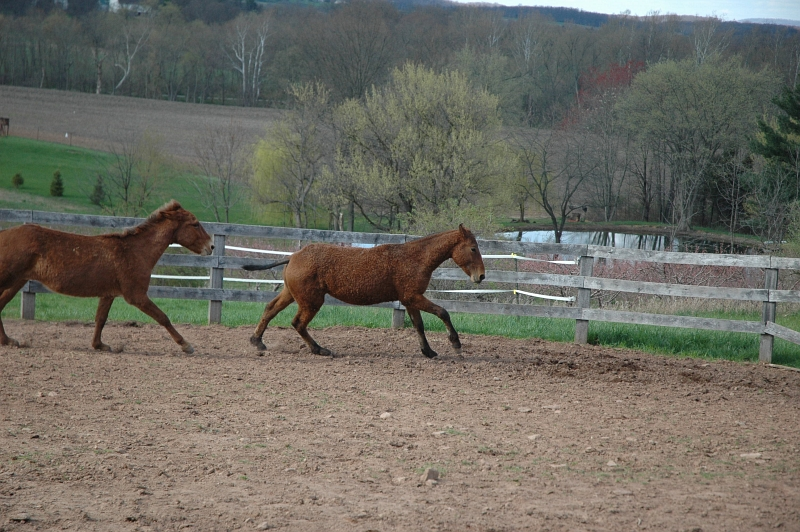 louie, a bashkir curly and pistol the mule
