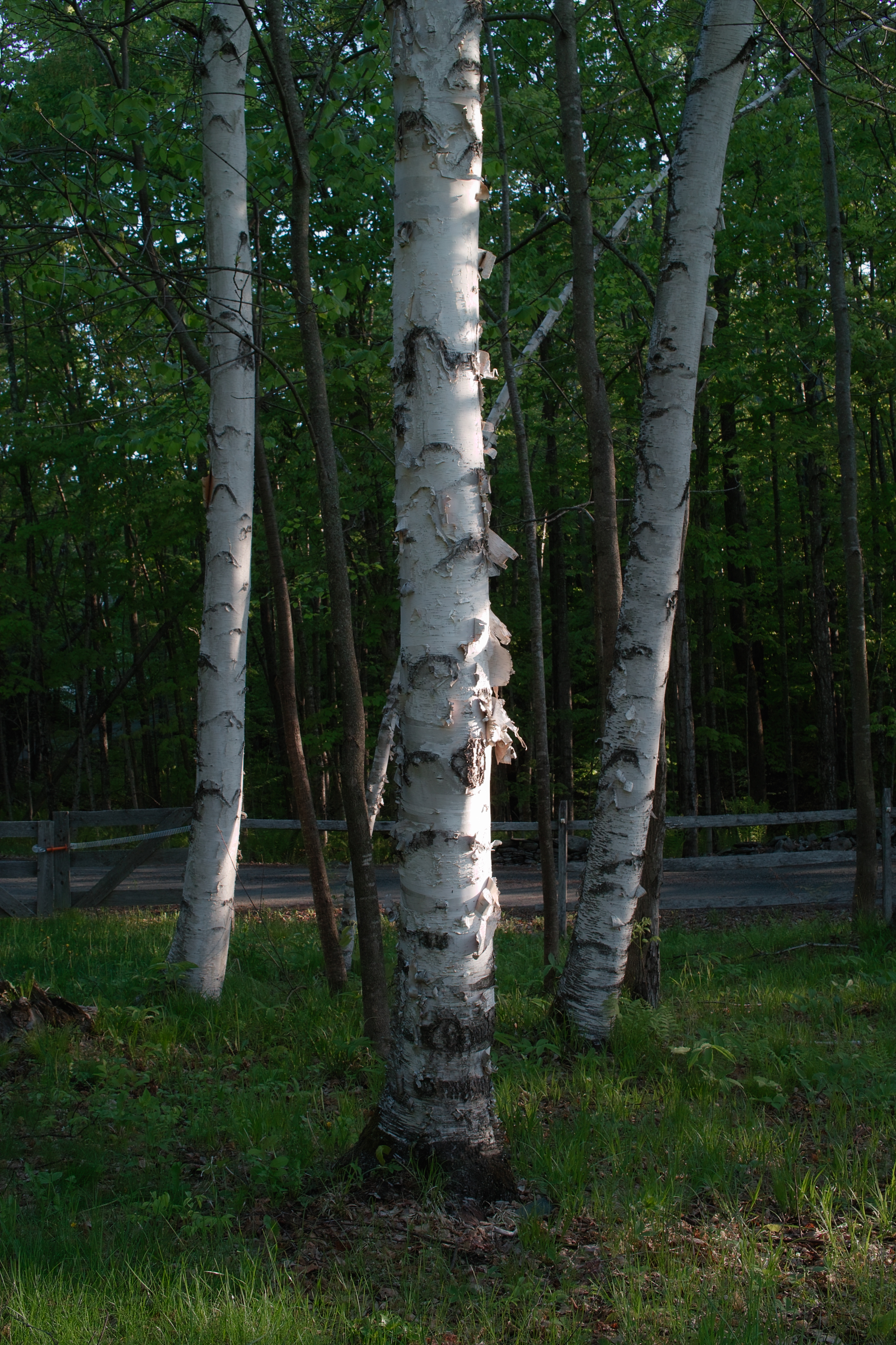 Birch Troika