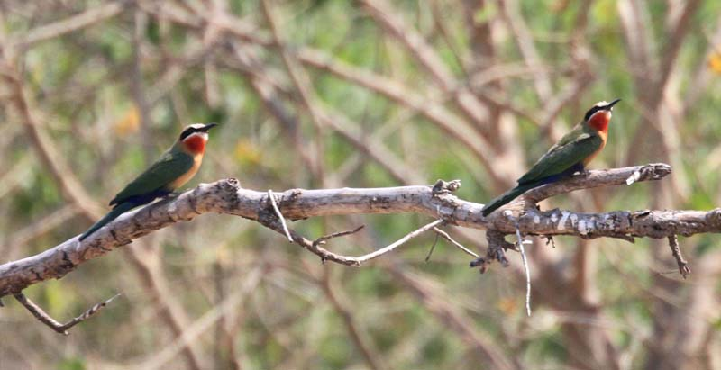 White-Fronted Bee Eaters