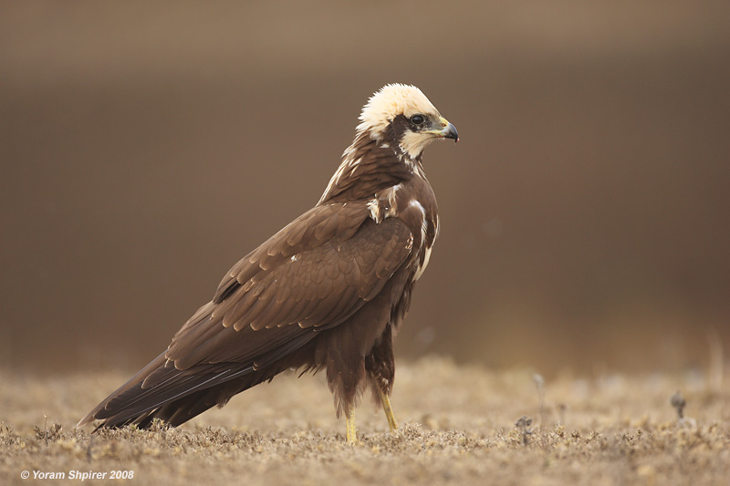 Marsh Harrier 3822