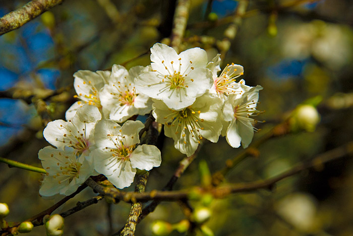 Another Sign of Spring - Apple Blossoms in January!