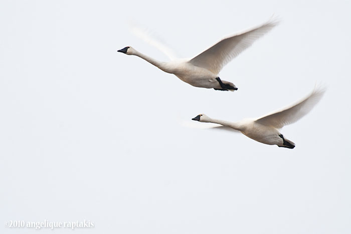 _MG_6142 swan flight w.jpg