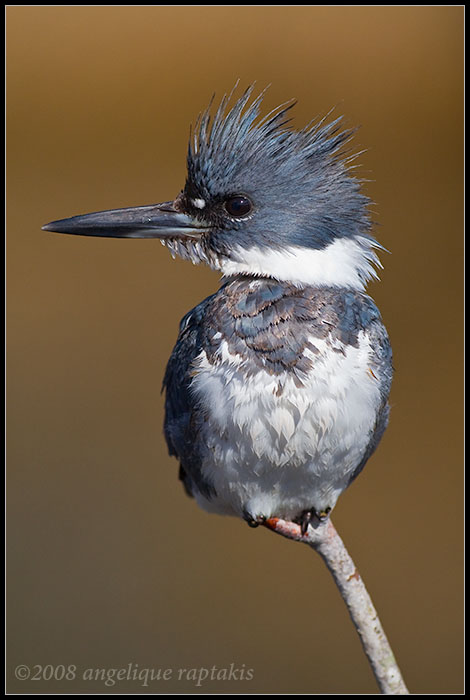 _MG_5343 kingfisher wf.jpg