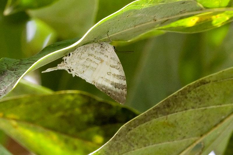 Neomyrina nivea periculosa (The White Imperial)