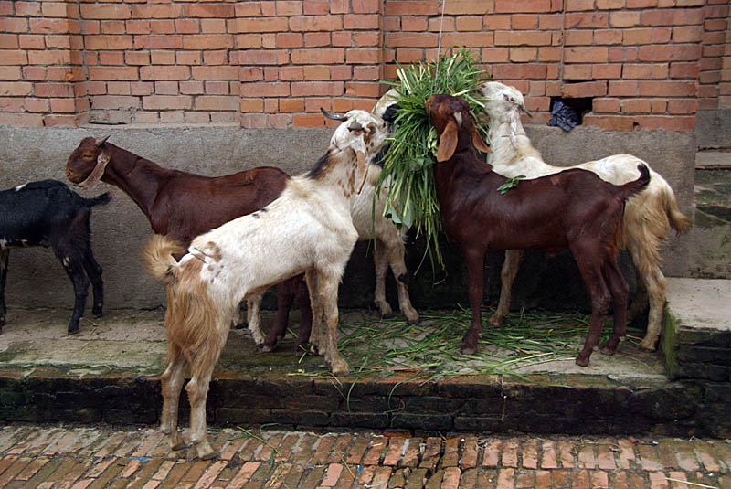 Goats Eating in Bhaktapur