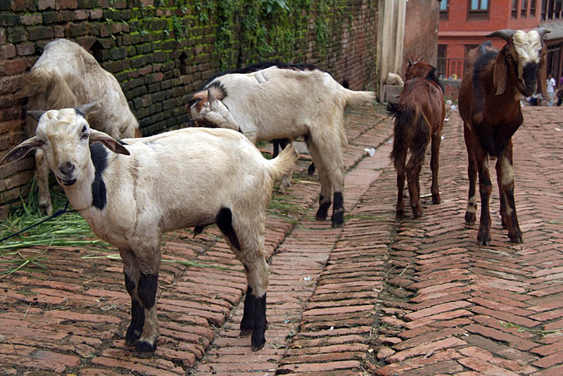 Goats in the Street Bhaktapur