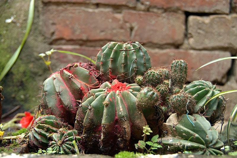Annointed Cactus Bhaktapur