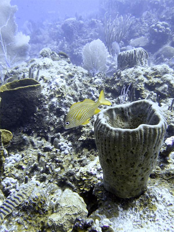 French Grunt  Barrel Sponge