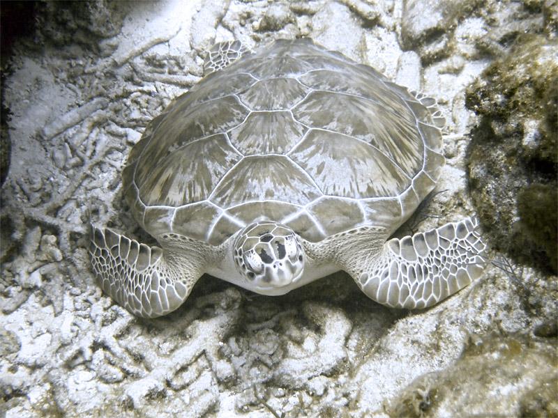 Green Turtle 2
