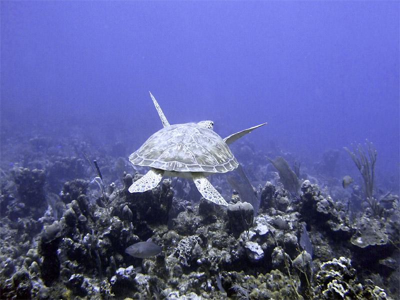 Green Turtle Swimming 1