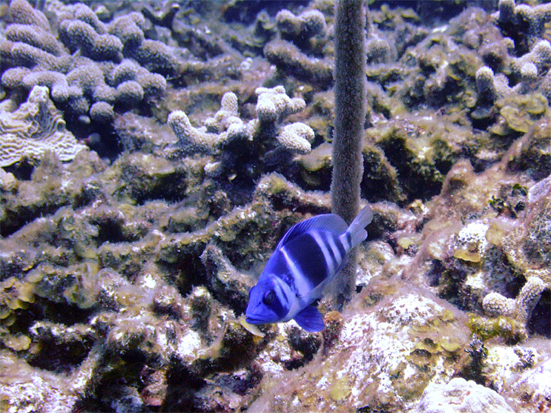 Barred Hamlet  Soft Coral