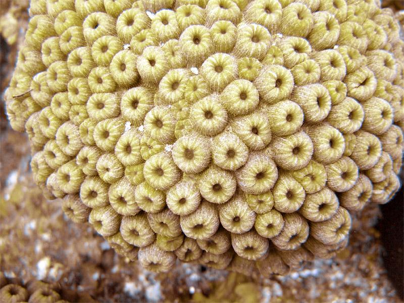 Hard Coral Cluster