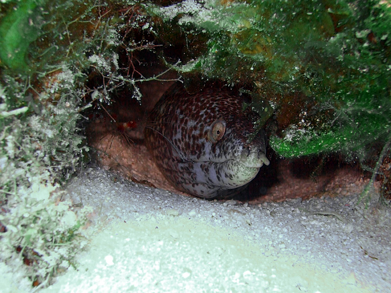 Spotted Moray Being Cleaned by a Cleaner Shrimp 5