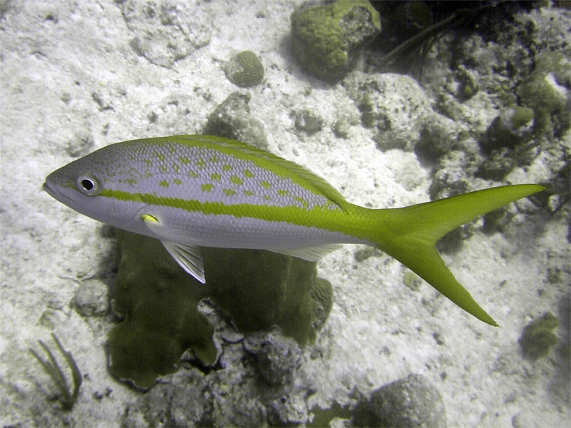 Yellow Tailed Snapper From Side 2