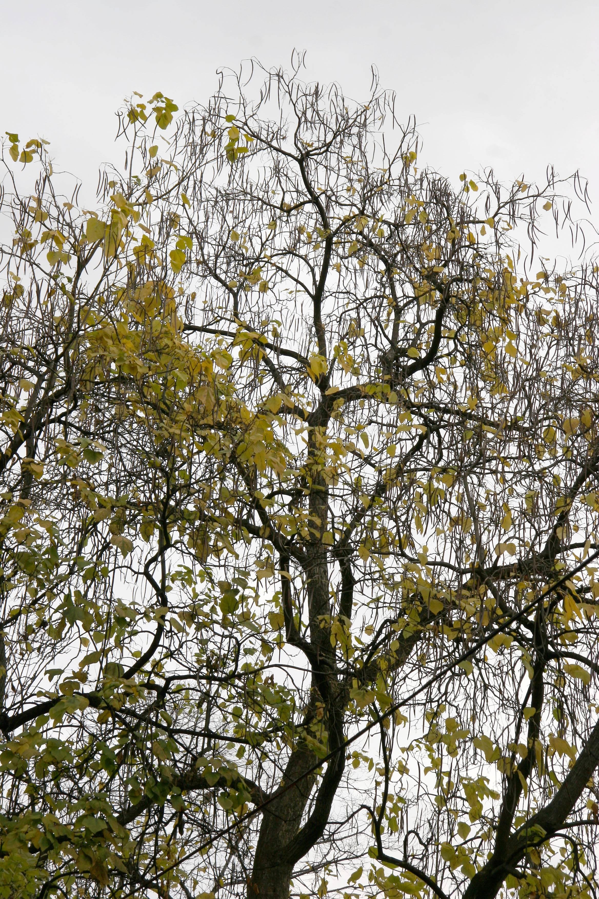 Catalpa Tree Chandelier & Foliage