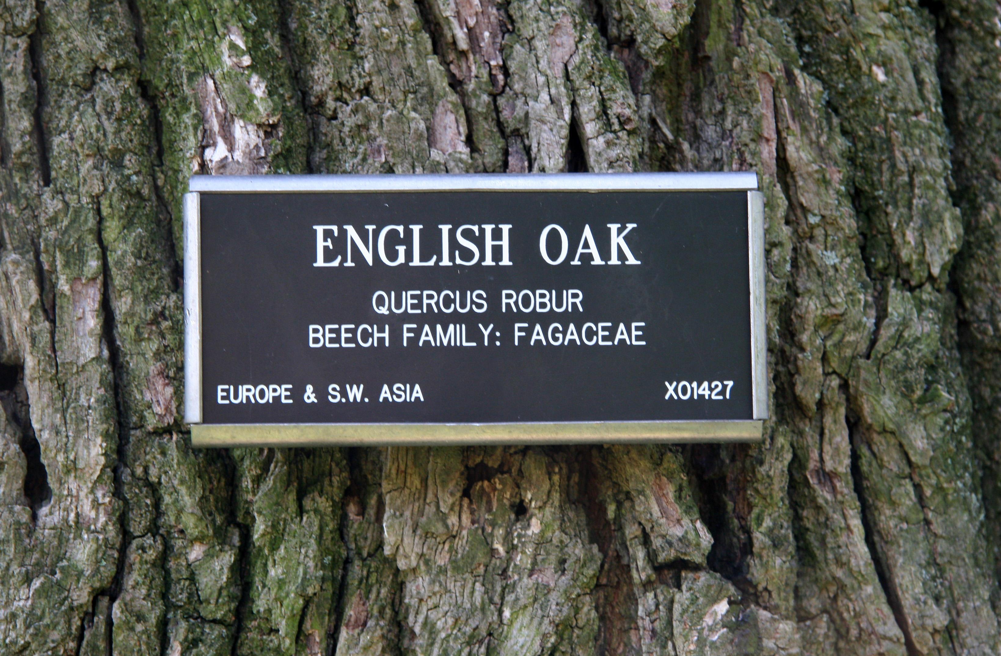 English Oak Bark
