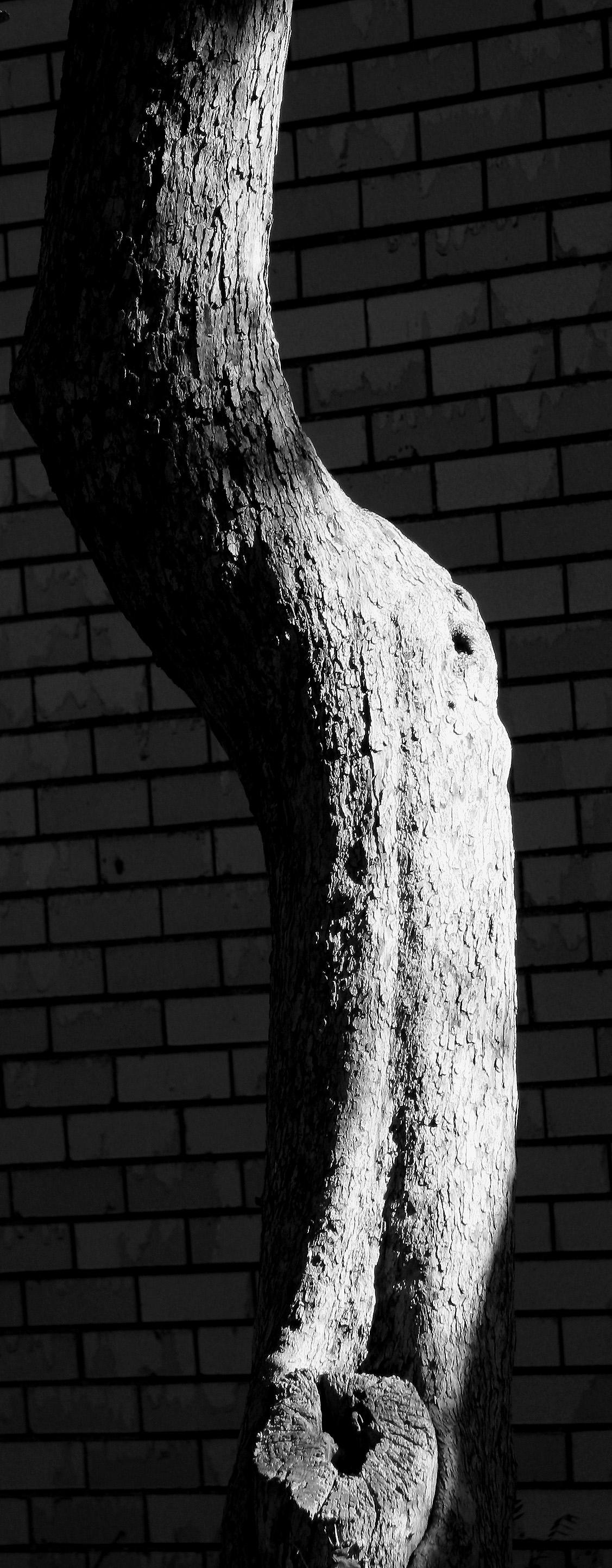 Hawthorne Tree Trunk