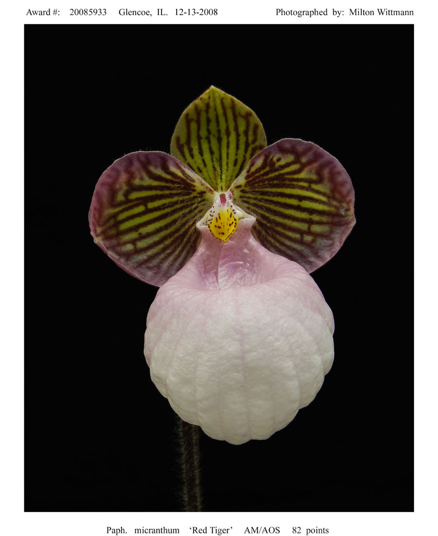 20085933 -   Paph.  micranthum Red Tiger AM/AOS 82 pts.