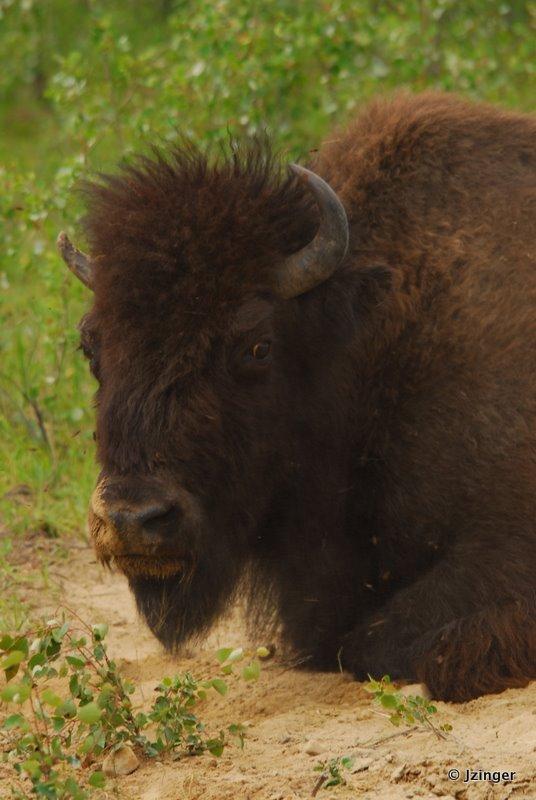 Bison, Wood Buffalo National Park