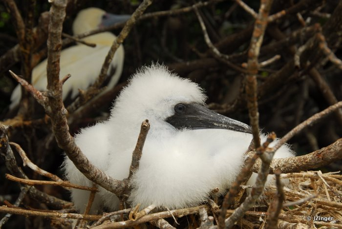 Young Red-footed Booby, Genovesa Island