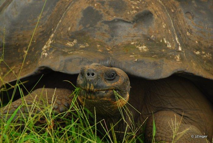 Giant Tortoise, Highlands on Santa Cruz Island