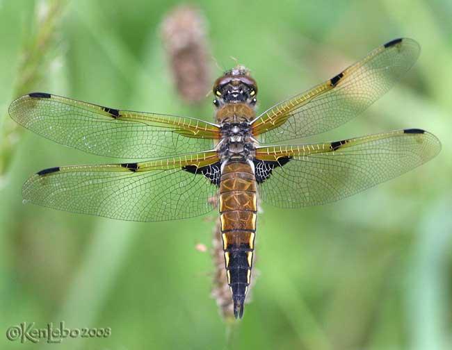 Four-spotted Skimmer Libellula quadrimaculata female
