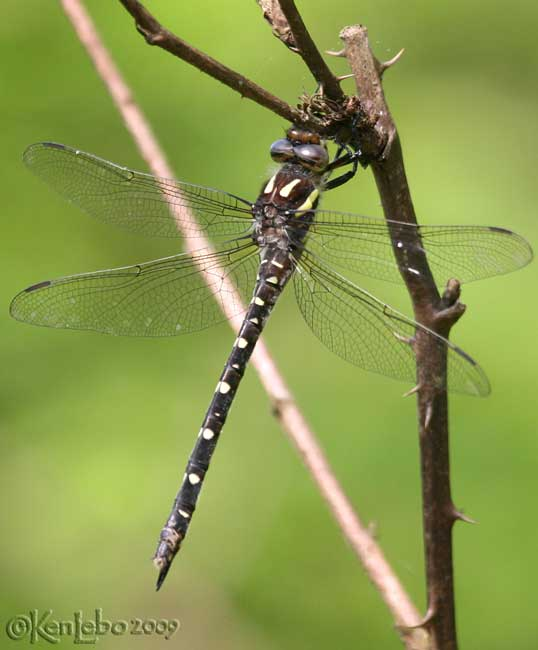Twin-spotted Spiketail <i>Cordulegaster maculata</i>