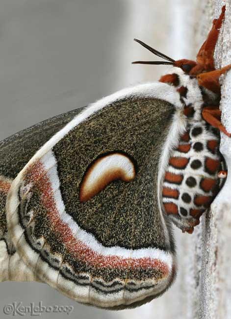 Cecropia Moth Hyalophora cecropia #7767