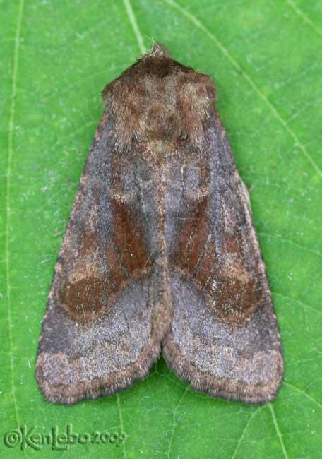 Bronzed Cutworm Moth Nephelodes minians #10524