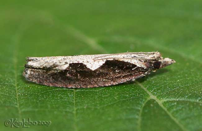 Diamondback Moth Epinotia lindana #3351