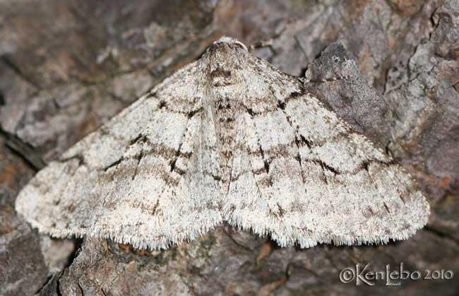 The Half-wing Moth Phigalia titea #6658
