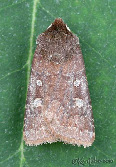 Reddish Speckled Dart Cerastis tenebrifera #10994