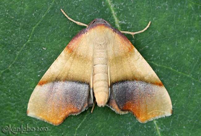 Straight-lined Plagodis Moth Plagodis phlogosaria #6842