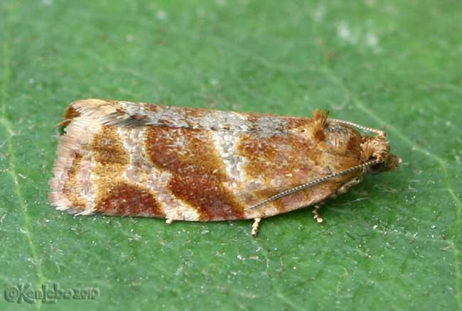 Pine Tube Moth Argyrotaenia pinatubana #3602