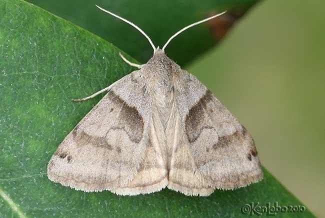 Forage Looper Moth Caenurgina erechtea #8739