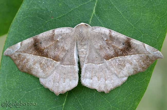 Curve-toothed Geometer Eutrapela clemataria #6966
