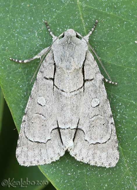 Radcliffes Dagger Moth Acronicta radcliffei #9209