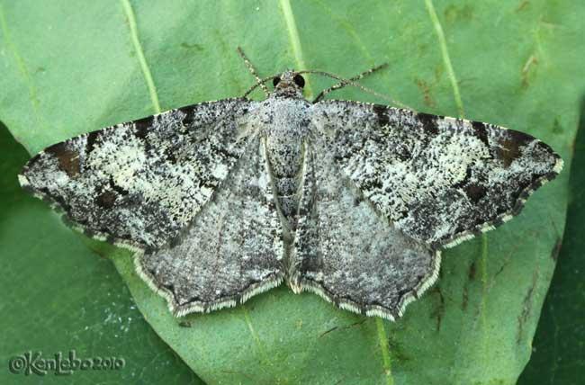 Granite Moth Macaria granitata #6352