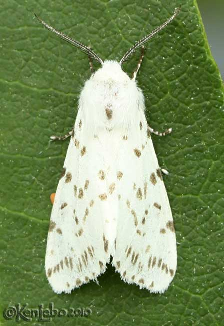 Fall Webworm Hyphantria cunea #8140