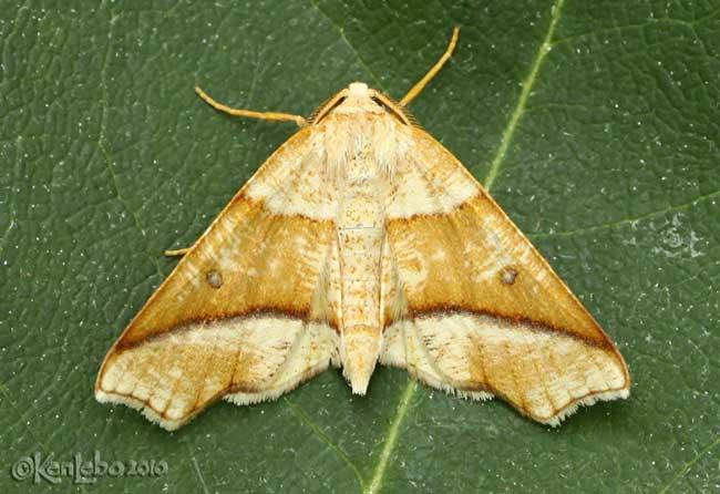 Hollow-spotted Plagodis Plagodis alcoolaria #6844