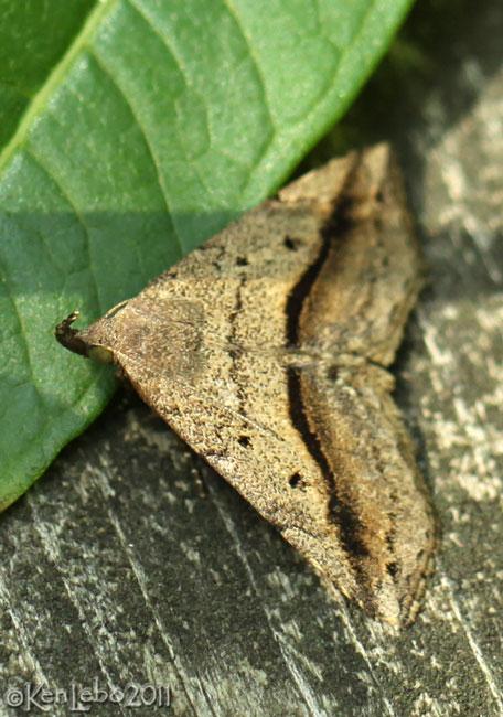 Lost Owlet Moth Ledaea perditalis #8491
