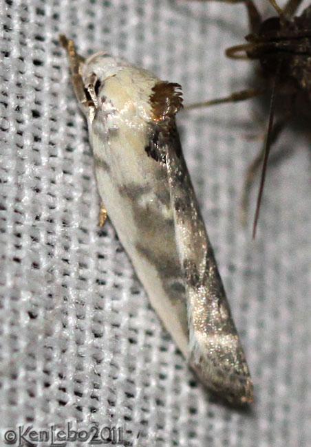 Schlaegers Fruitworm Moth Antaeotricha schlaegeri #1011